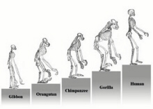 Ascent of Primates (click to see larger image)