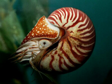Nautilus (click to see larger image)