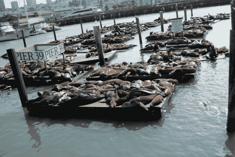 Sea Lions on the shores of PIER 39