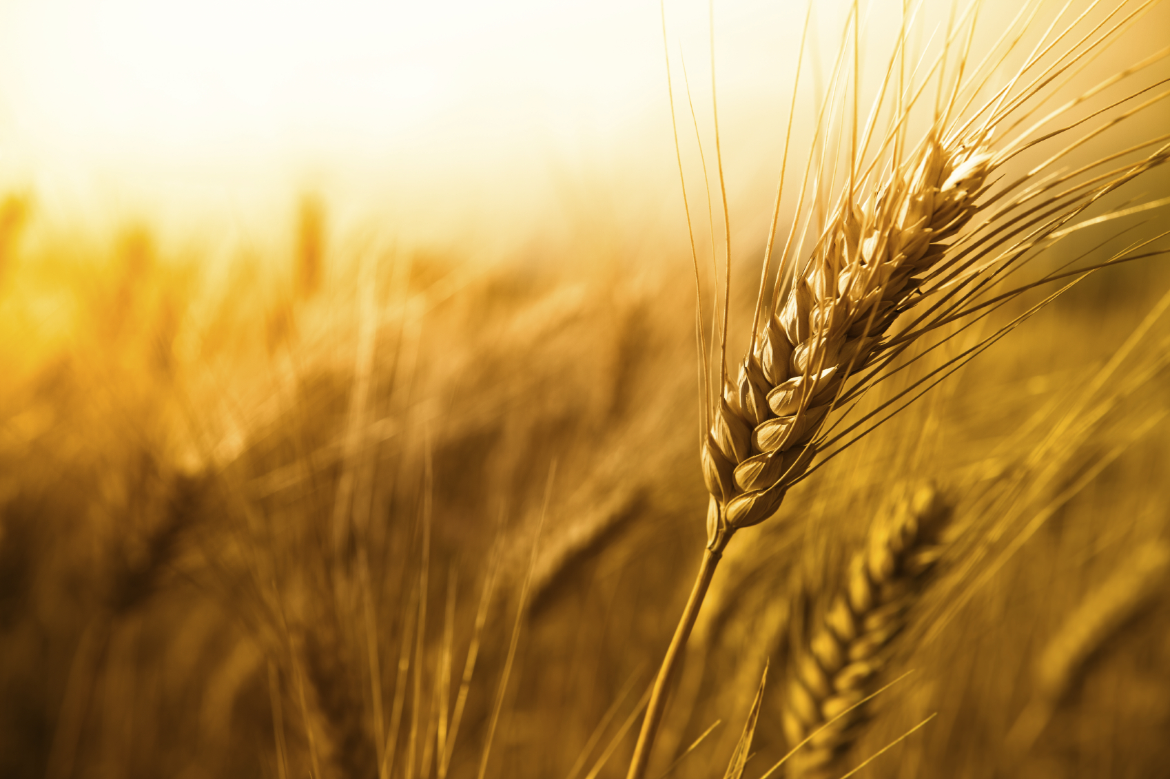 Wheat Genetic Sequence Mapping Was Successful Utah People S Post
