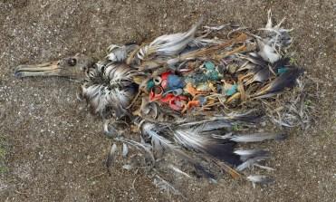 Dead Plastic-Fed Albatross in Midway