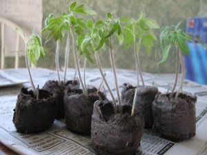 Rutgers Tomatoes grown from Survival Seed can