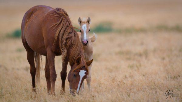 Colts Foals of Onaqui Herd Utah Wild Horses