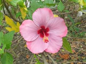 キャプティバウィンド・・・落ち着いたうすい小豆色の花で、花弁のエッジが濃いのが特徴です。アメリカのヨダー社に専売権のある品種で、日本では夏季にホームセンター等で鉢物として販売されています。