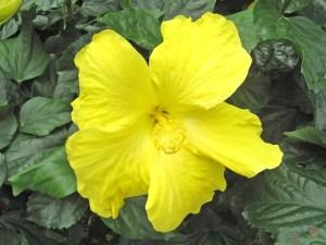 ゴールデンイエロー・・・花びらからおしべ、めしべまで、すべてが鮮烈なイエローです。オールド系ですが、花はやや大きく、ヒラヒラした花びらが南国ムードを演出します。