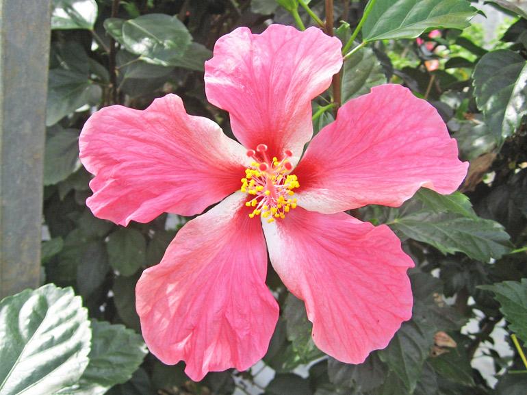 ピンクパーシーカラー・・・沖縄でよく見かけるハイビスカスその1です。バーシカラーとは「色分けされた」みたいな意味ですが、他に「コモンピンク(標準的なピンク)」という別名もあります。