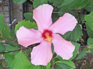 ピンクパフィー・・・とにかくキュートなピンク色で、シンプルながら可愛らしさでは、数ある品種の中でも上位グループに入ります。オールド系ですが、近年作り出された品種です。