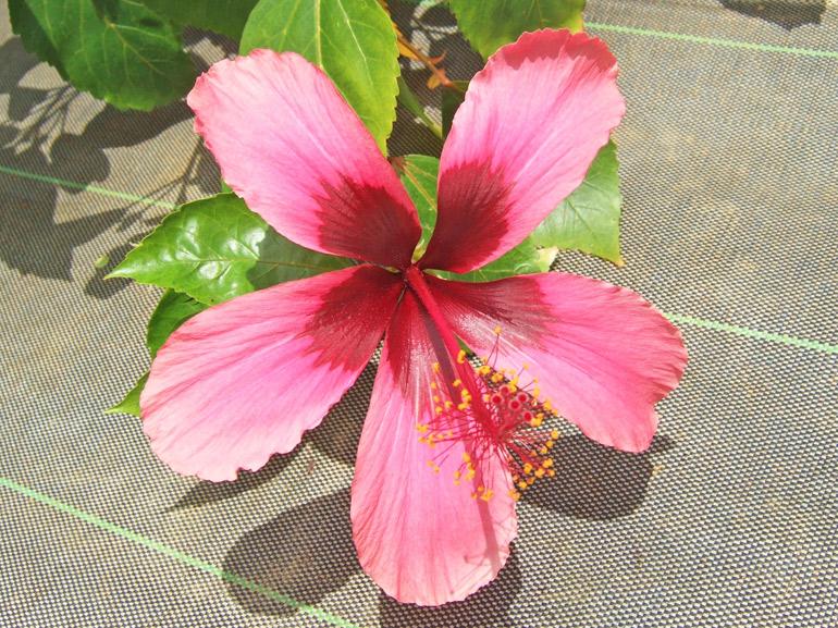 フィジーアイランド・・・花の形から受ける印象は、やや原始的なのですが、交配種なのだそうです。本当にフィジーから来たのかも含めて、詳細は不明です。