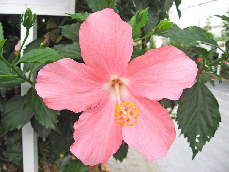 やんばる姫・・・ハイビスカスの花の中心色は、赤が基本(受粉に役立つ小鳥を引き寄せる為)なのですが、これは白です。したがって、この花は人が交配して出来た品種と推測できます。