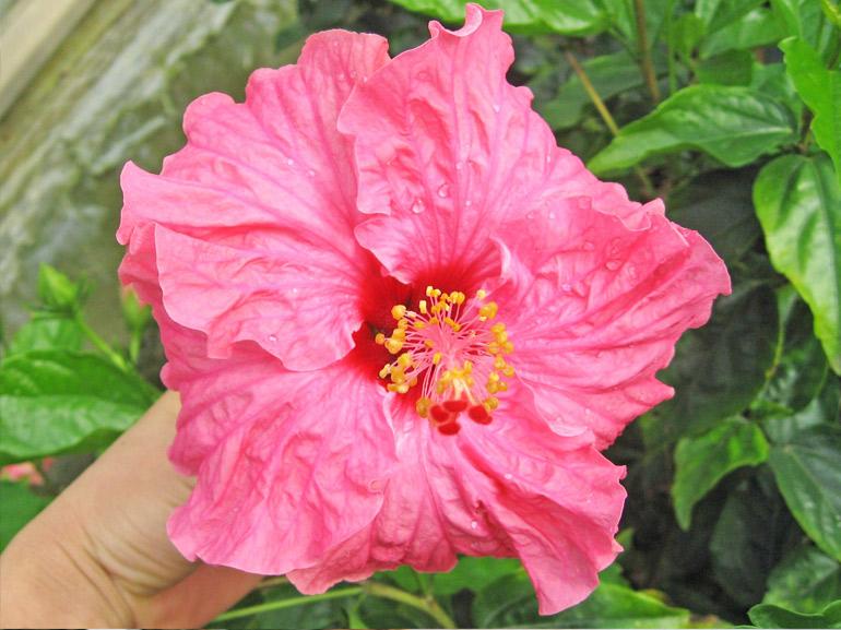 リオ・・・近年たくさん流通しているピンクと、赤の中間色の品種で、花びら全体がフリルのように波打っています。樹勢も強く、たくさんの花をつけてくれます。