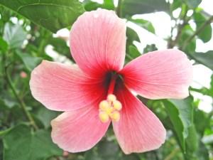 ローズミー・・・赤~ピンク、そして白へのグラデーションは、ハイビスカスでは珍しくありませんが、それに加えて、花サイズの小ささが、この品種の可憐さを際立たせています。