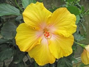 大きなリトルエンゼル・・・同ハイビスカス園内に植えてある「リトルエンゼル」の大型バージョンの品種です。花びらの色はリトルエンゼルの黄色よりも、レモン色に近い色をしています。