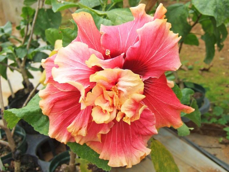 AD545-3・・・とても良く咲いてくれる中型八重咲きの品種です。フリフリのうすクリーム色が可愛らしいのですが、中心が濃ピンクの為、引きしまって見え、存在感抜群です。