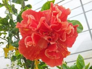 TS5・・・紅オレンジ色のような花びらに、所々に黄色の筋が入る八重咲き品種です。中心は濃い赤色なため、花全体がギュッとしまっている感じがします。