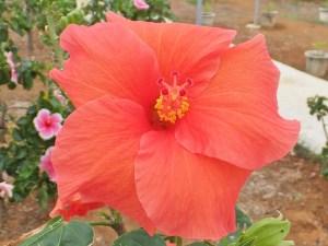 あかね・・・西表島よりの品種です。オレンジがかった朱色のとてもかわいらしい花を咲かせてくれます。夕日を浴びて茜色に照り映える夕焼け空のようなハイビスカスですね。