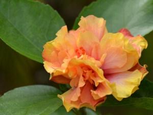 カラーリングブック・・・なかなか開花するチャンスが少ない品種なので、咲いていたら要注目です。とても不思議な色をしていますよ。ちなみにカラーリングブックとはぬり絵のことです。