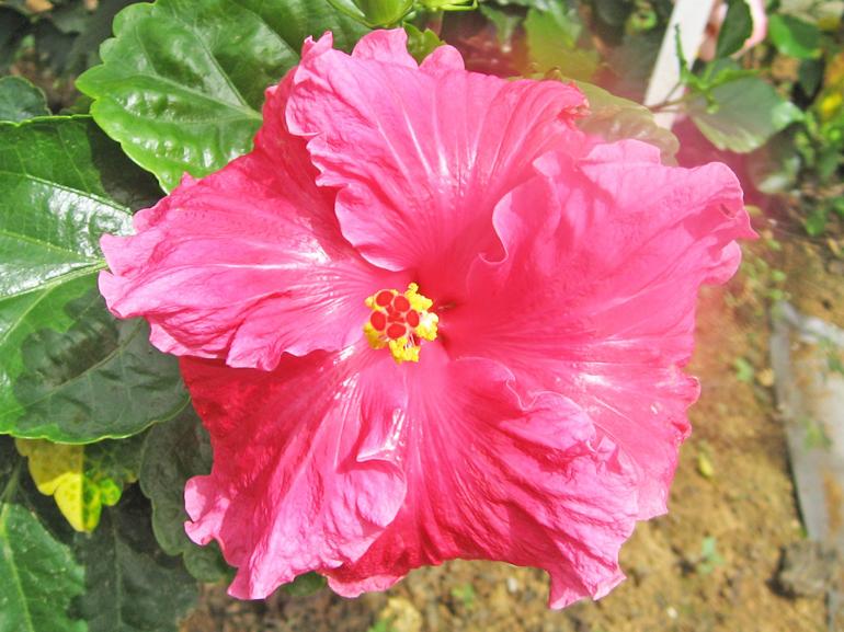 キッスミー・・・パッと目をひくショッキングピンクの花に、強い自己主張を感じます。りんとした姿勢で花をつけ、こちらに向かってお茶目に「キッスミー!」と言っているよう・・・?