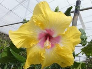 タヒチアンイエロージャイアント・・・この品種は、当園何百種の中でもナンバーワンの大きさを誇ります。大人の頭と同じぐらいの巨大な花は見る者を圧倒しますね。もし咲いていたら、ぜひ記念撮影を!!