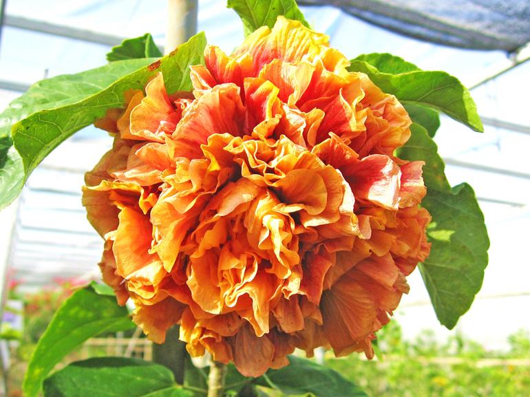 ビーチボール・・・とてもユニークな八重咲き品種で、紙細工で作った玉のような形をしています。一重咲きのものと比べると、さすがに開花の頻度は低く、花を見られる機会は多くありません。