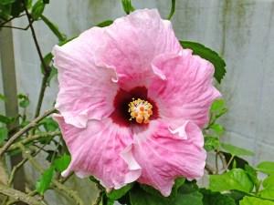 ピンクマドンナ・・・ 日本に古くからある「マドンナ(別名ヒノマル)」のピンクバージョンの品種です。真ん中の赤丸にふんわりピンクは、まるで少女のようですね。