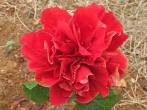 フセルダブル・・・くしゃくしゃとした濃紅色のきれいなハイビスカスです。八重の中では小ぶりで可愛らしい花です。また花びらの裏側もなかなかな素敵なので、そっとのぞいて見て下さい。