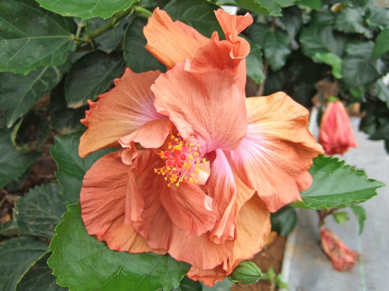 ブラウンダービー・・・ブラウン系八重咲きハワイアン品種の代表格です。花弁の中心はうっすらピンク色です。季節により赤茶~うす茶色まで変化します。