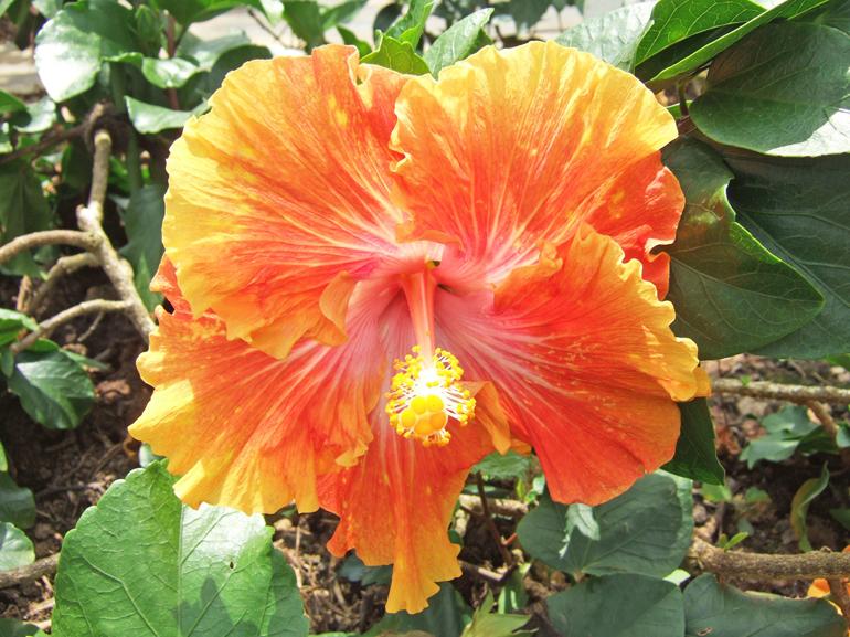 ベアー・・・樹形はややほふく型で、地面を這うように成長します。成長は遅い品種ですが、カラフルな色合いの明るい花を咲かせてくれます。