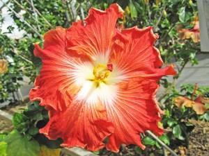 ホットパプリカ・・・油絵に描かれるようなクラシックな雰囲気を持つハイビスカスです。花びらの縁がほんの少し巻いたようになるのが特徴です。