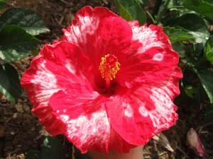 マグナリサ・・・季節によって、花弁に入る白いスポットが変化する品種です。(ただし寒い時期は赤一色になってしまうこともあります。)