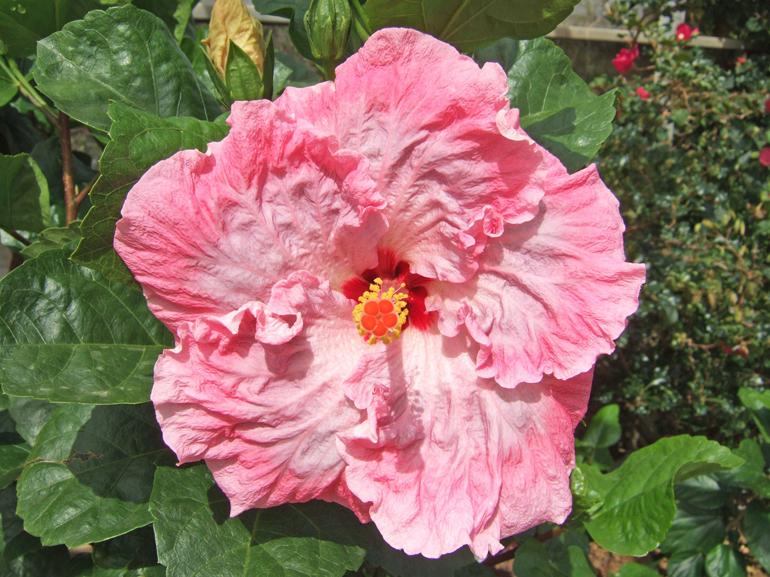 ラベンダーウォルフ・・・クラシックな舞踏会用のドレスを連想させる華麗な花です。フリルの可愛らしさもトップクラス。見かけによらず、接ぎ木での活着率も高い、元気さを兼ね備えた品種です。