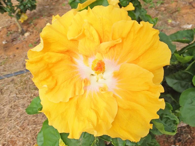 リバース・・・よくある黄色と白のパターンですが、このハイビスカスには特徴があります。開きかけは反るように咲き、その後、上の写真のように普通に丸く咲くという面白い品種です。