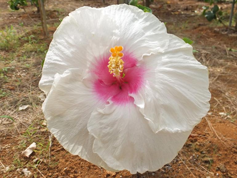 白い珊瑚・・・柔らかな白い花びらに、中央のアクセントピンク、とても可愛らしいハイビスカスです。波打ち際に押し上げられた、真っ白なサンゴを連想させてくれますね。