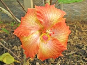 """夕焼け雲・・・石垣島のハイビスカス名人が育種した、""""石垣ハワイアン""""の一つです。成長はとても遅い品種ですが、オレンジ色のベースに、神々しい光のようなパターンがよく似合います。"""
