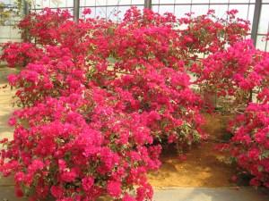 タイヨウ(四季咲き)・・・葉はクリーム色の外斑。苞は鮮やかな緋赤色。花もちは良くない。生育もすこし遅いが、観葉植物として鉢植えにも向く品種。