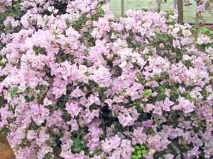 プリティーピーチ(開花は秋から春)・・・グラブラ系の品種。苞は淡桃色にピンクのボカシが入り、開花にしたがってピンクが濃くなる。