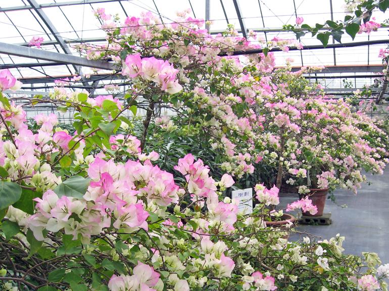 マヨイ(四季咲き)・・・苞の色は、咲き始めは白色で、次第にピンク色を帯びる。多花性だが、花もちは良くない。