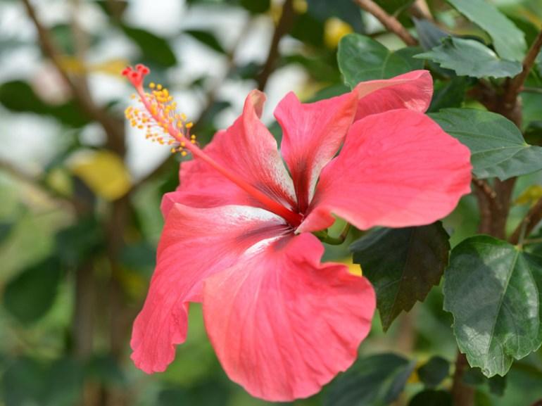 ハイビスカス・・・エジプトの美を司る「女神ヒビス(hibis)」と、ギリシャ語の「似る(isko)」が合わさり、「hibiscus」と呼ばれるようになったそうです。ハイビスカスは、咲いたらその日のうちに枯れてしまうという「一日花」ですが、次から次へとつぼみをつけて新しい花を咲かせていきます。