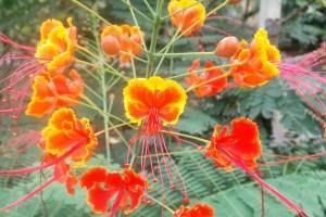 オオゴチョウ・・・・デイゴ、サンダンカとともに沖繩三大名花の一つで、赤~オレンジ色の蝶型の美しい花が咲きます。ただし枝には鋭いトゲを持つのでご注意下さい!やはり美しいものにはトゲがあるのですね(笑)!