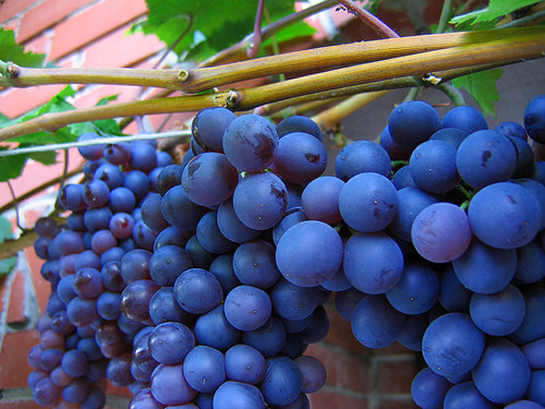 sta jesti a mršaviti-grožđe