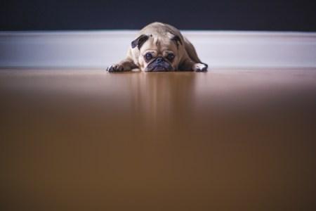 Bild på en hund (pug) som ligger på golvet och ser ledsen ut.