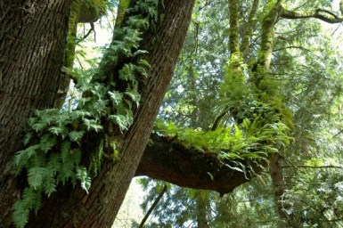 ferns growing on trunk and broad limb of maple tree