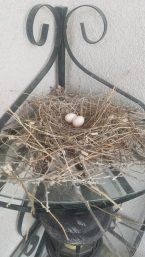 Dove eggs on our patio