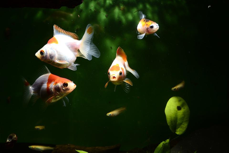金魚 魚 水族館 Carassius Auratus
