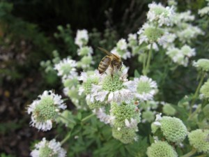 Pycnanthemum pilosum (mountain mint) section B