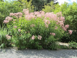 Joe Pye weed (Eupatorium purpureum) in section C. It's about nine feet tall. Its other common name is gravel root because it has been used to treat gravel or kidney stones.