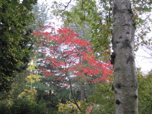Staghorn sumac (Rhus typhina) foliage lighting up the woods north of Cascara Circle.