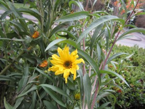 Maximilian sunflower (Helianthus maximiliani) in section D is one of the last plants to flower.