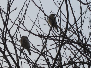 Yesterday I heard cedar waxwings (Bombycilla cedrorum) in the Chinese quince (Pseudocydonia sinensis). As usual, they wouldn't let me get close, hence the fuzzy zoom shots.