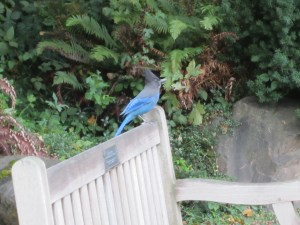 The Steller's jays (Cyanocitta stelleri) are very vocal right now. I'm not sure why. This one perched for a while on Bill Talley's bench. Bill was the campus landscape architect for many years and he really loved the Medicinal Herb Garden.