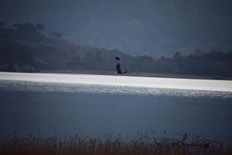 Eagle from the Lake Hotel Killarney